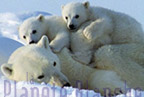 Polar bears and Italian criminals